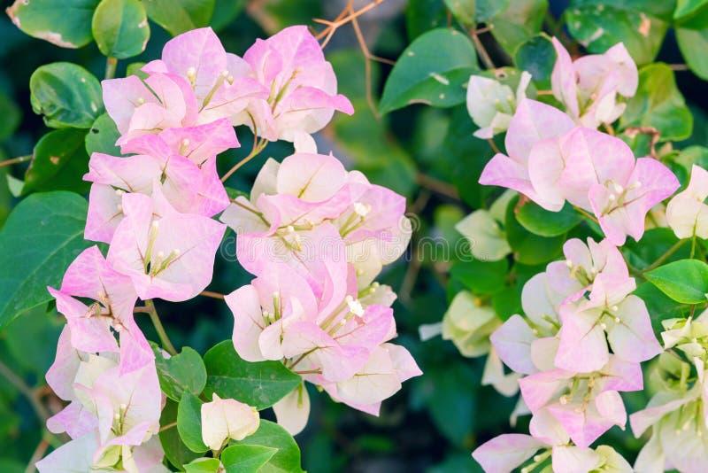 Roze bougainvilleabloemen stock foto
