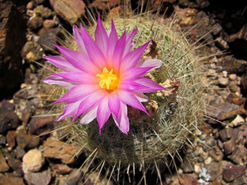 Roze Cactusbloem royalty-vrije stock afbeeldingen