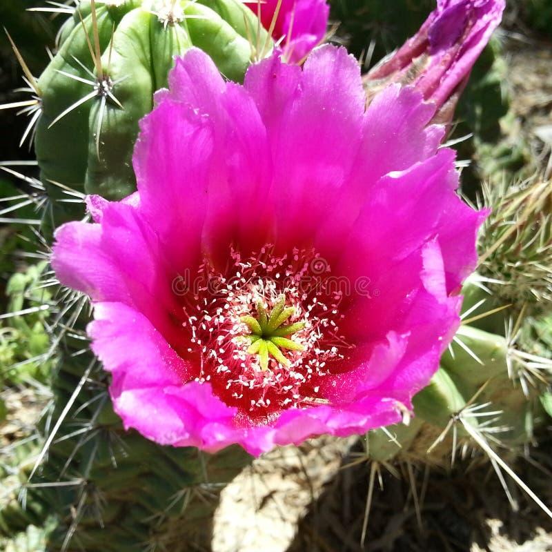 Roze cactusbloesem stock foto