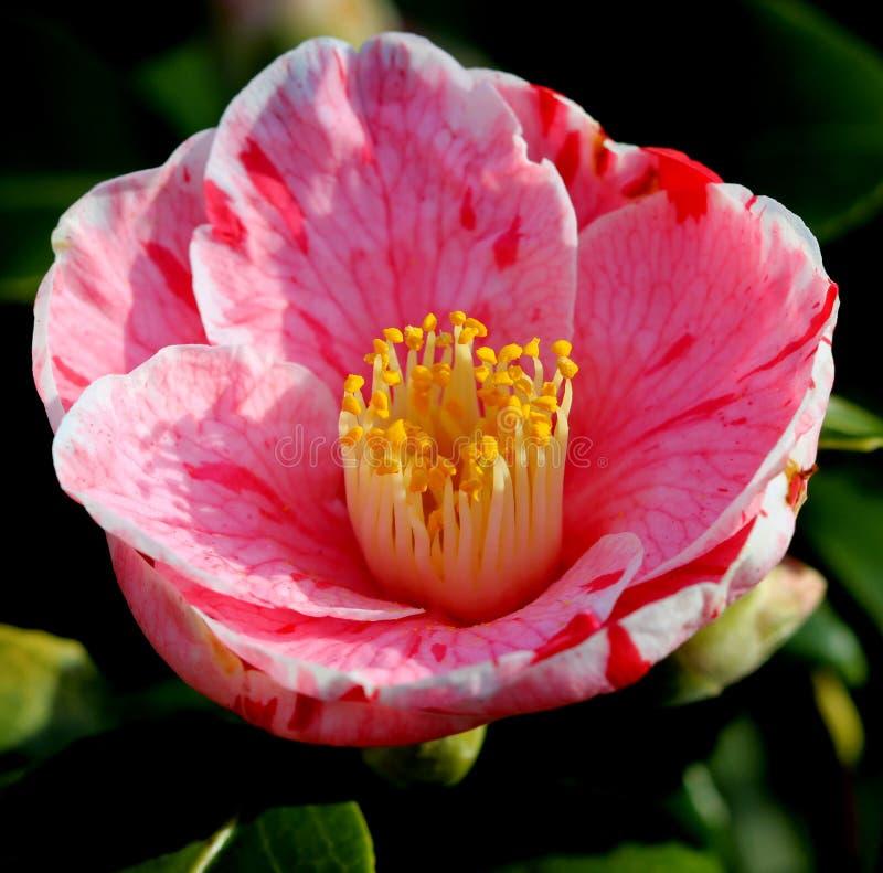 Roze camelia stock afbeeldingen