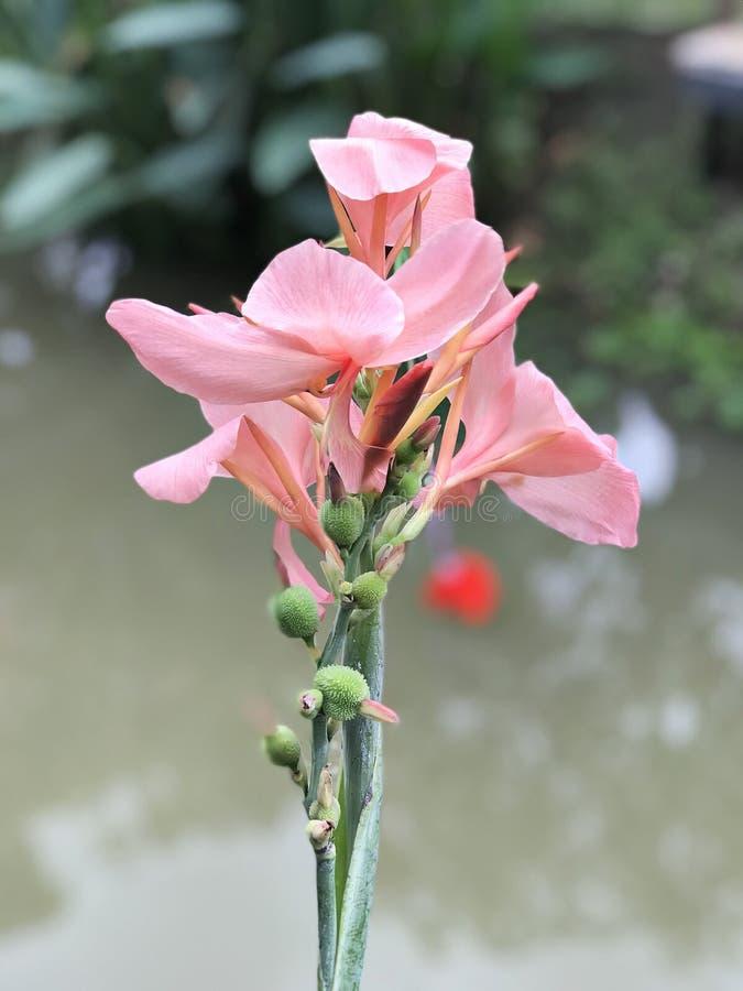 Roze cannabloem stock afbeelding