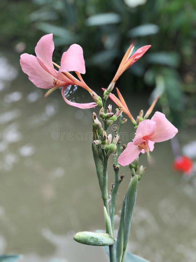 Roze cannabloem royalty-vrije stock foto's