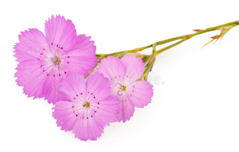 Roze carthusianorumbloem van anjerdianthus stock fotografie