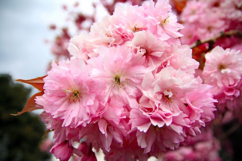 Roze Cherry Blossoms in een tuin royalty-vrije stock foto