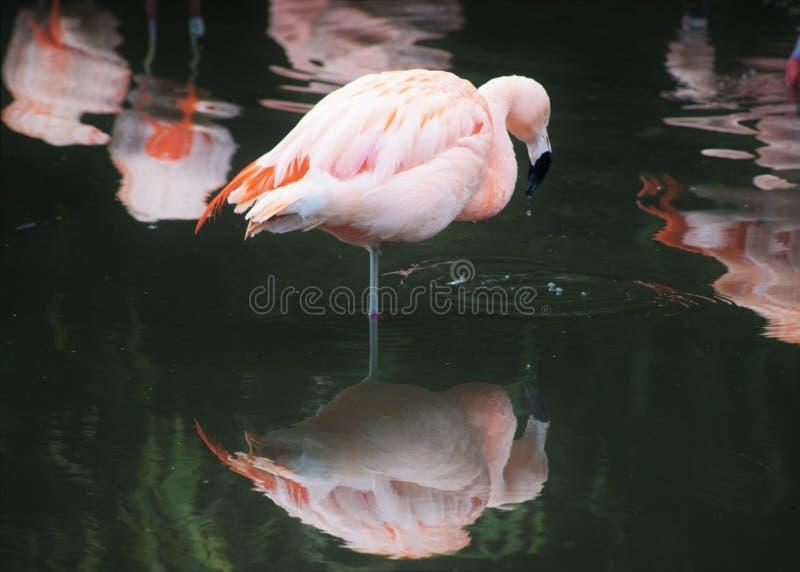 Roze Chileense die Flamingo (Phoenicopterus Chilensis) op Één Been met Bezinning wordt bevonden stock foto