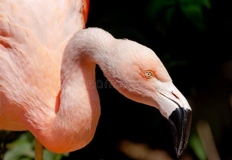 Roze Chileense Flamingo die Voedsel zoekt royalty-vrije stock fotografie
