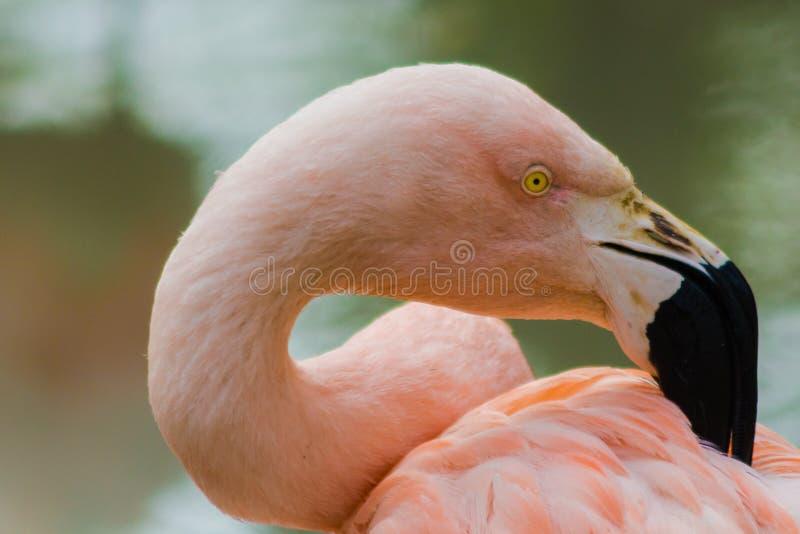Roze Chileense flamingo met een typische zwart-witte bek die de veren behandelen royalty-vrije stock afbeelding