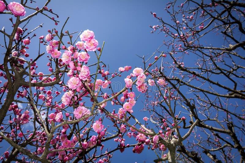 Roze Chinese pruimbloemen stock fotografie