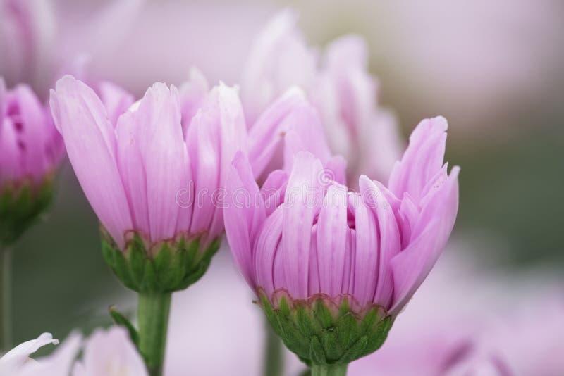Roze chrysantenbloemen stock foto's