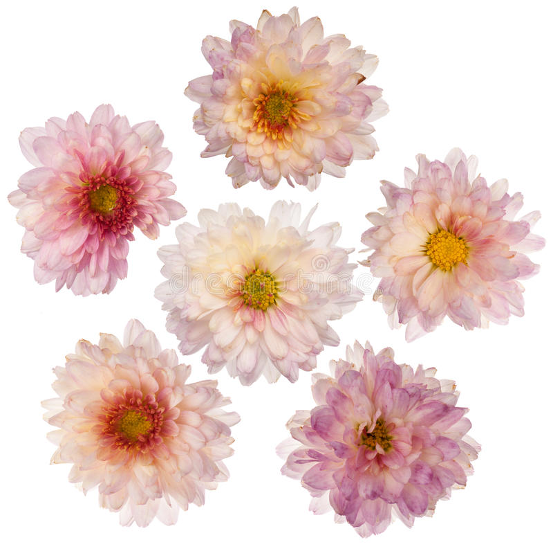 Roze chrysantenbloemen royalty-vrije stock fotografie