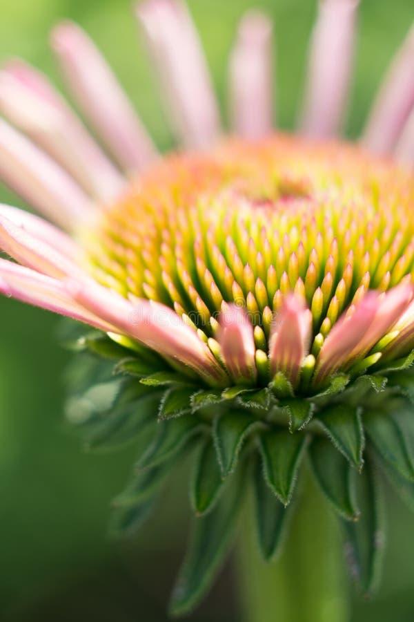 Roze coneflower die in de lente beginnen tot bloei te komen royalty-vrije stock afbeeldingen