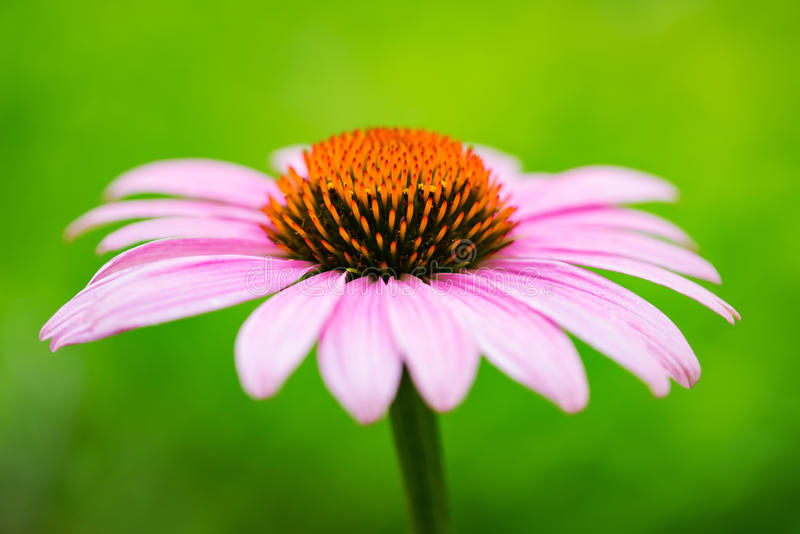 Roze coneflower & x28; echinacea& x29; stock foto