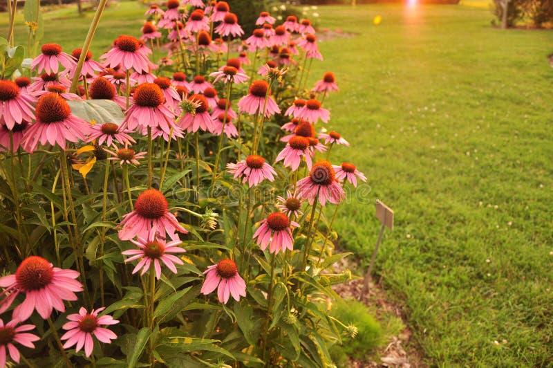 Roze coneflowers royalty-vrije stock afbeeldingen