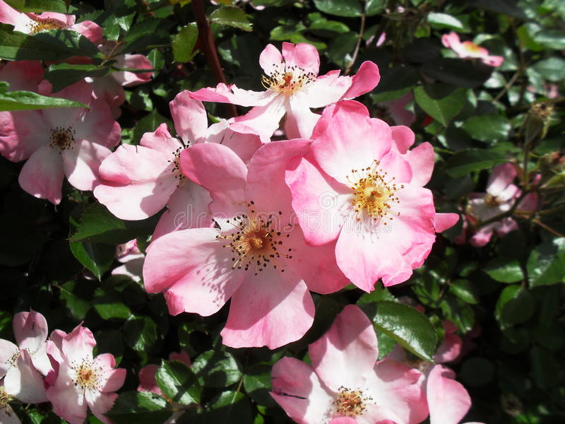 Roze Coral Carpet Rose-bloem stock afbeeldingen