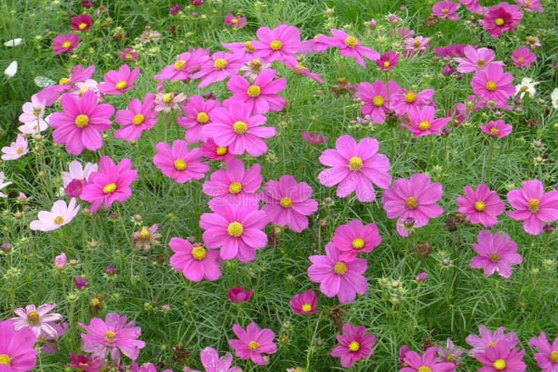 Roze coreopsisbloemen royalty-vrije stock afbeelding