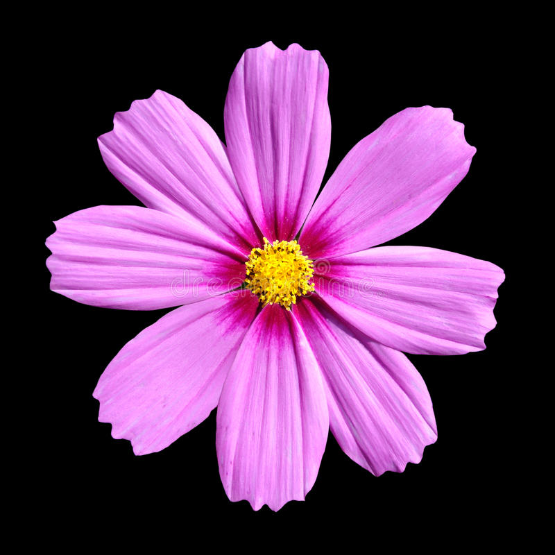 Roze Cosmea nam toe. De mooie geïsoleerdez Bloem van de Kosmos stock afbeeldingen