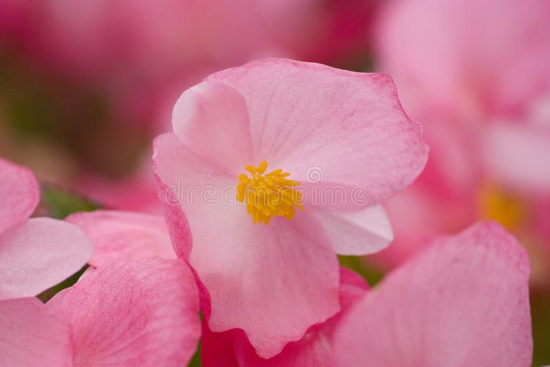 Roze crabapplebloemen, bloemstickers stock foto
