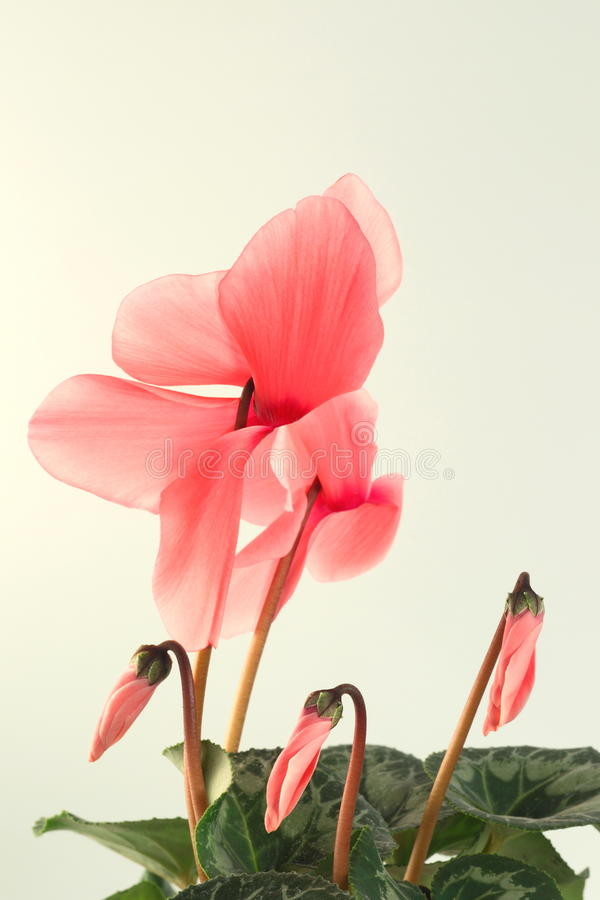 Roze cyclaam stock afbeelding