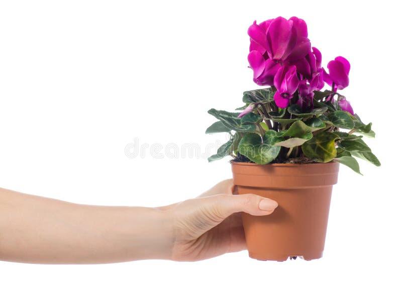 Roze cyclaam in een pot ter beschikking stock afbeelding