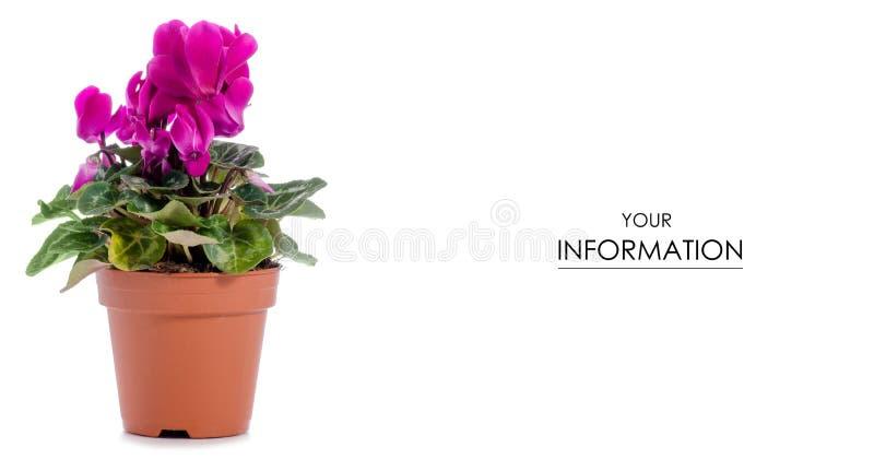 Roze cyclaam in een pottenpatroon royalty-vrije stock afbeeldingen