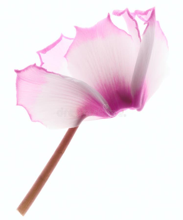 Roze cyclaambloem stock fotografie