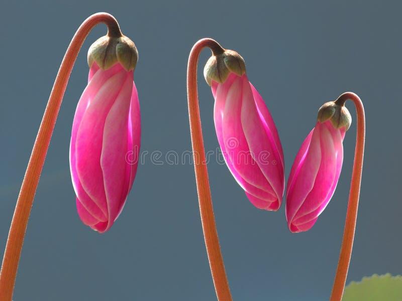 Roze cyclaamknoppen stock foto