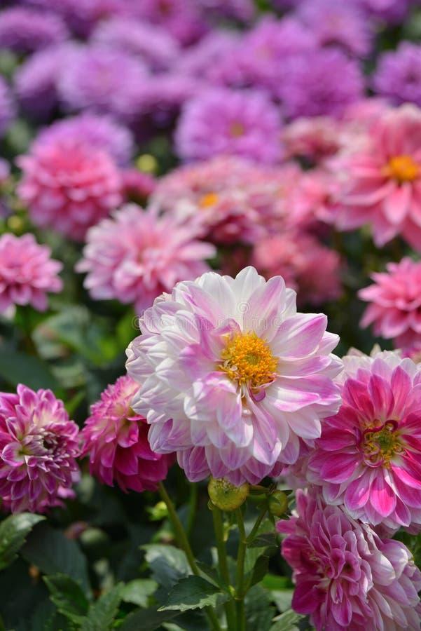 Roze Dahila stock afbeeldingen