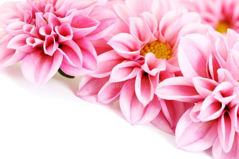Roze dahlia royalty-vrije stock foto