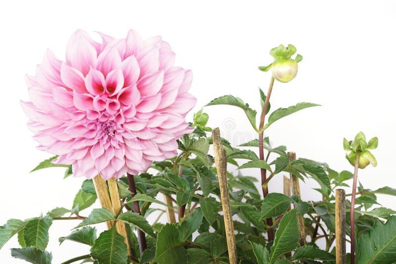 Roze Dahlia Flowers die met groen die verlof bloeien op witte achtergrond wordt geïsoleerd royalty-vrije stock afbeeldingen