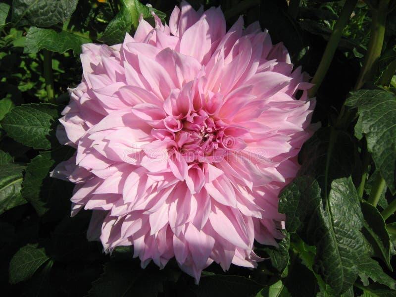 Roze dahlia's in de zomertuin stock fotografie