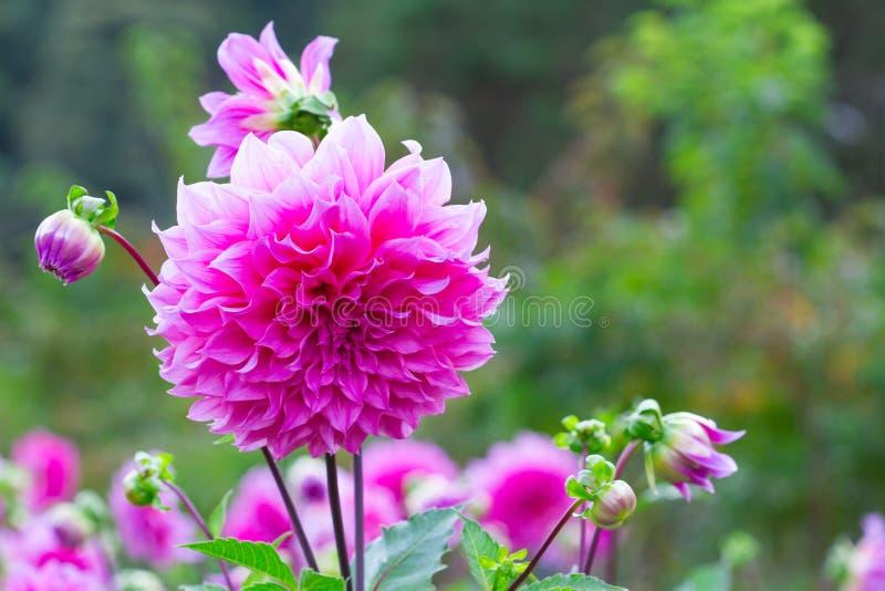 Roze dahliabloem in de tuin stock foto's