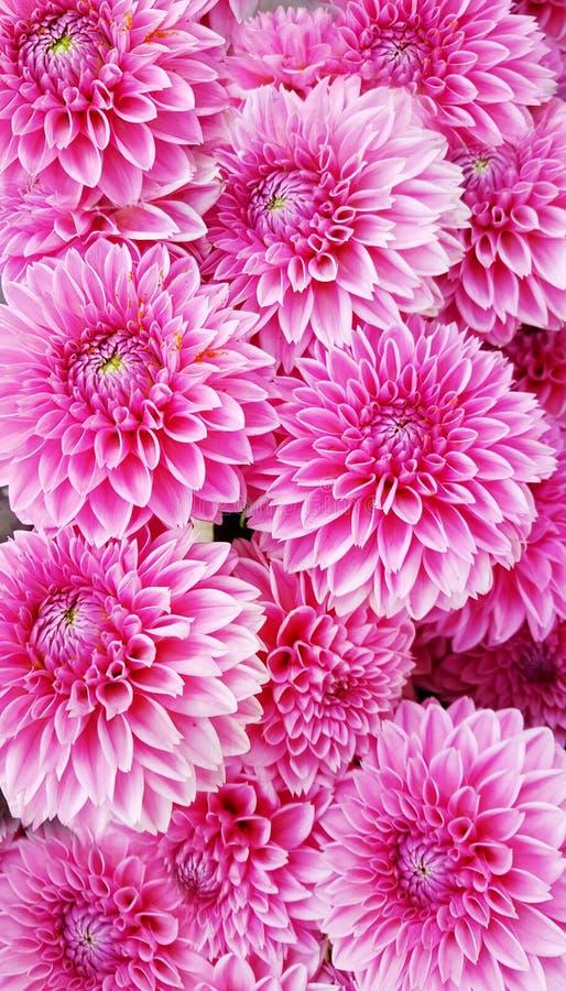 Roze dahliabloemen stock foto