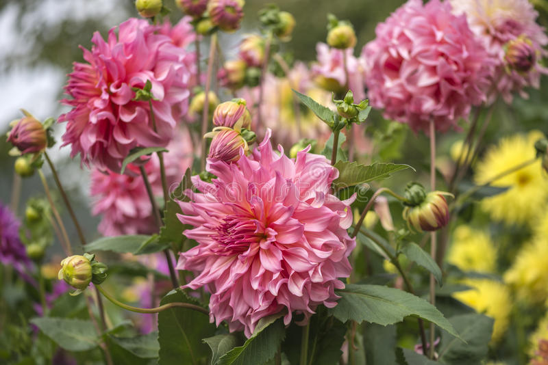 Roze dahliatuin royalty-vrije stock afbeelding