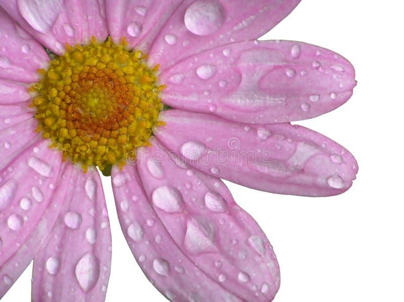 Roze daisie royalty-vrije stock afbeelding
