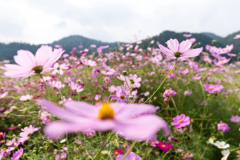 Roze Daisy landbouwbedrijf royalty-vrije stock afbeeldingen