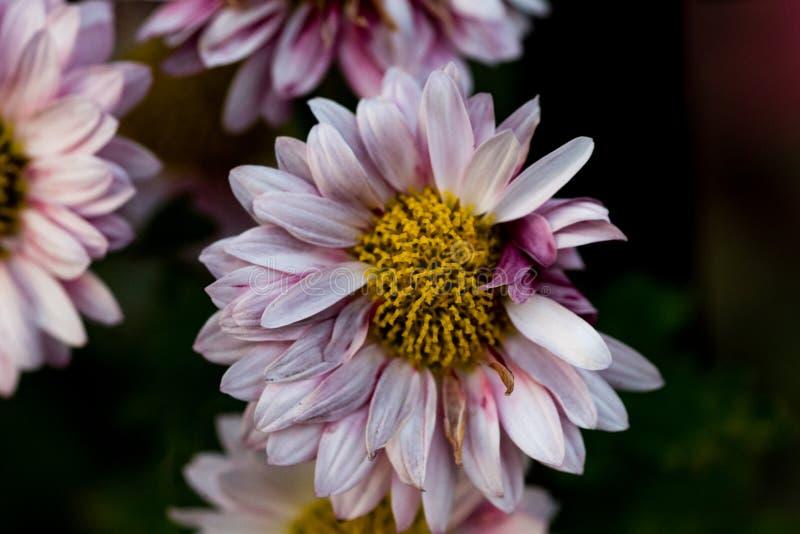 Roze Daisy tegen een donkere achtergrond stock foto