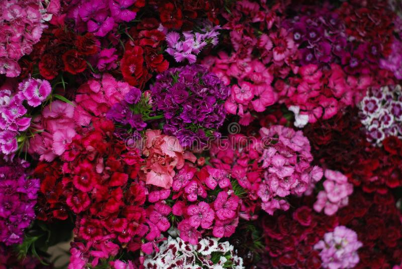 Roze de anjerturks van de fucsiabloem, Dianthus, Wat bloeiende Turkse rode Achtergrond van de anjerstextuur Bloeiwijze van kleine stock fotografie