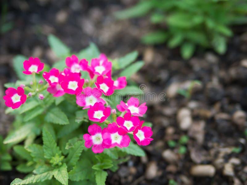 Roze de bloesembloem van ijzerkruidhybrida royalty-vrije stock afbeelding