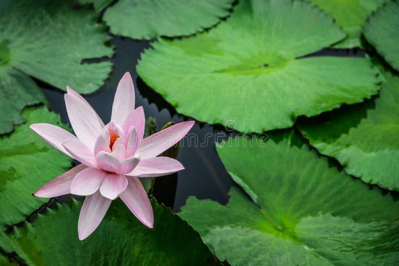 Roze de lotusbloembloem van de bloesem stock afbeeldingen