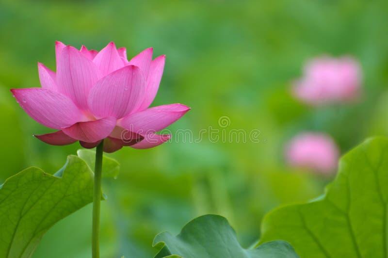 Roze de lotusbloembloem van de bloesem royalty-vrije stock foto's