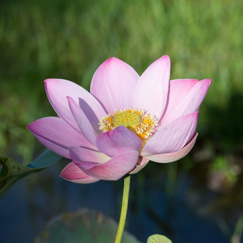 Roze de lotusbloembloem van de bloesem stock foto's