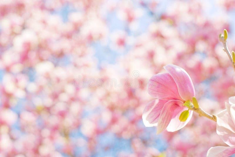 Roze de Magnoliabloemen van de de lentetijd stock afbeelding