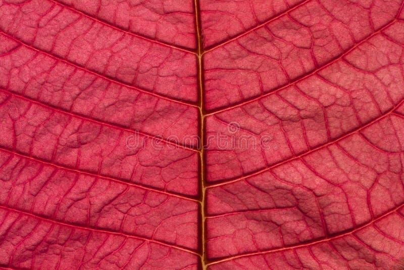 Roze de Textuur van het Poinsettiablad Patroon Als achtergrond royalty-vrije stock afbeelding