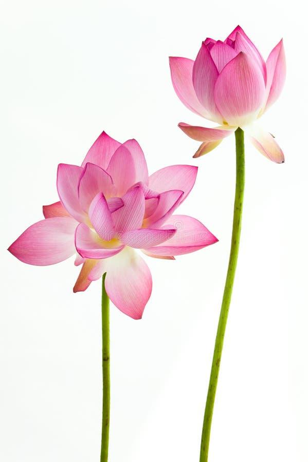 Roze de waterleliebloem van Twain (lotusbloem)   royalty-vrije stock fotografie