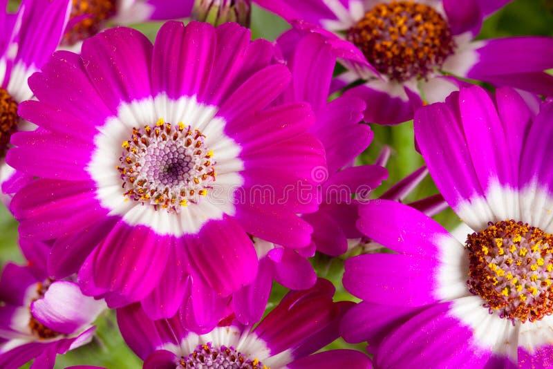 Roze dichte omhooggaand van bloemencineraria als achtergrond stock afbeeldingen