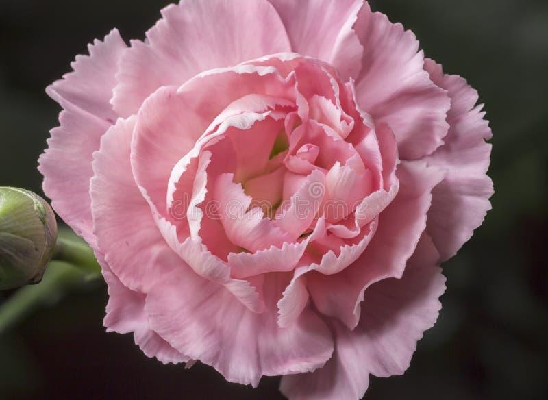 Roze Dichte Omhooggaand van Dianthus stock foto