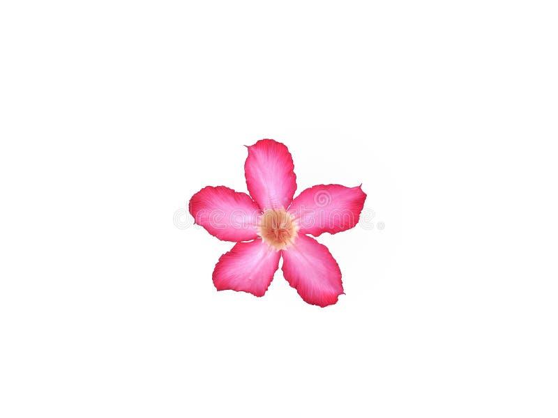 Roze die adeniumbloem op witte achtergrond wordt ge?soleerd royalty-vrije stock foto's
