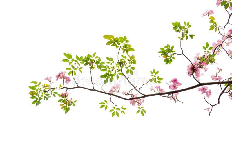 Roze die bloem en boomtak op witte achtergrond wordt geïsoleerd stock afbeeldingen