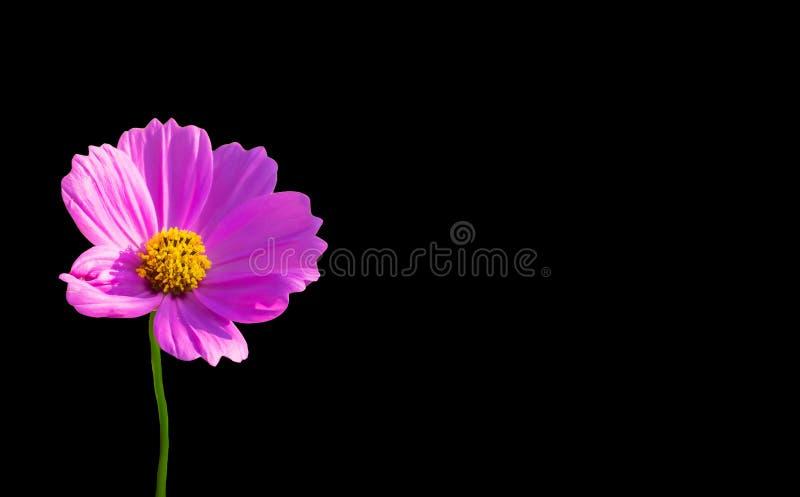 Roze die bloem op zwarte achtergrond wordt geïsoleerd royalty-vrije stock fotografie