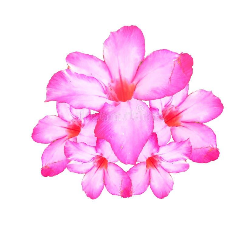 Roze die bloemen over witte achtergrond worden geïsoleerd stock foto